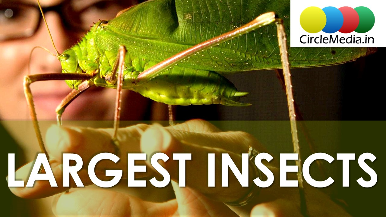Largest insects in the world | Heaviest Insects in the World | Ugliest Insects | Circle Media